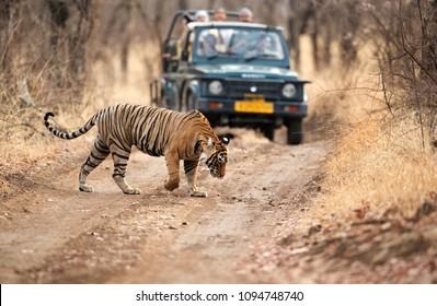 RANTHAMBORE, INDIA-APRIL 30: Tourist on Safari jeep watching tiger crossing the road at Ranthambore National Park, Sawai Madhopur, India on April 30, 2018