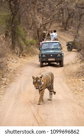 RANTHAMBORE, INDIA-APRIL 30: Tourist on Safari jeep watching tiger walking on the road at Ranthambore National Park, Sawai Madhopur, India on April 30, 2018