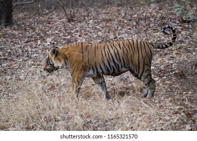 ranthambore reserve in india, tiger walkin