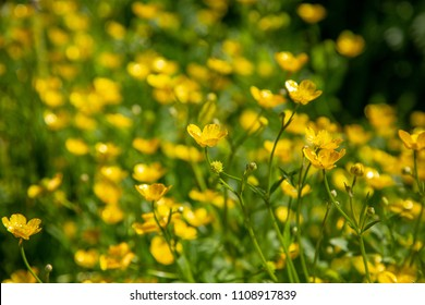 Ranunculus acris - meadow buttercup, tall buttercup, common buttercup, giant buttercup. Natute background
