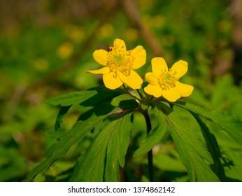 Ranunculus acris  meadow buttercup, tall buttercup, common buttercup, giant buttercup.