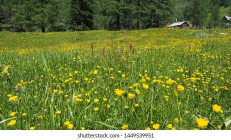 Ranunculus acris - meadow buttercup, tall buttercup, common buttercup, giant buttercup, Butterblume, Hahnenfuss. Photo taken in radstaedter tauern, niedere tauern, austrian alps, Austria, June 2019