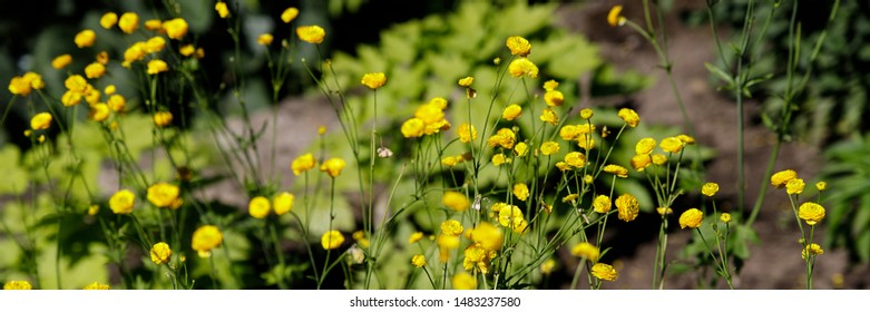 Ranunculus acris meadow Buttercup, tall Buttercup with its yellow flowers. Variety Multiplex