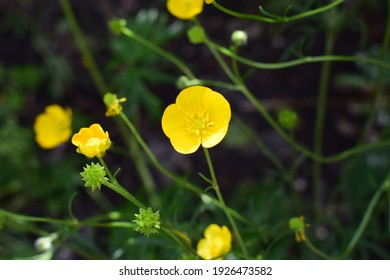 Ranunculus acris (meadow buttercup, tall buttercup, giant buttercup). Close up of a Common Buttercup yellow flowers on green grass background. Selective focus, blurred background.