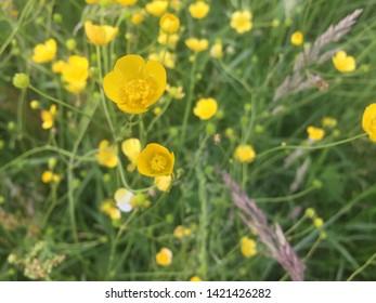 Ranunculus arvensis. Corn buttercup. Devil-on-all-sides. Scratch bur. Yellow meadow flowers.