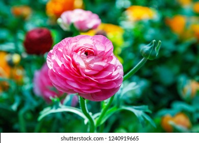 Ranunculus asiaticus or Persian buttercup Pink flower. Ranunculus is good spring choice for borders, pots and containers