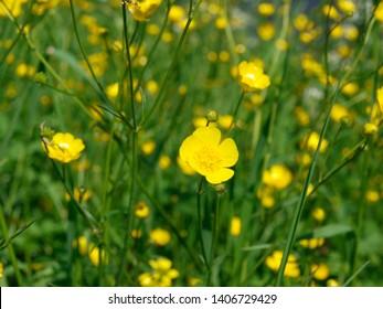 ranunculus auricomus goldilocks buttercup yellow fields flowers