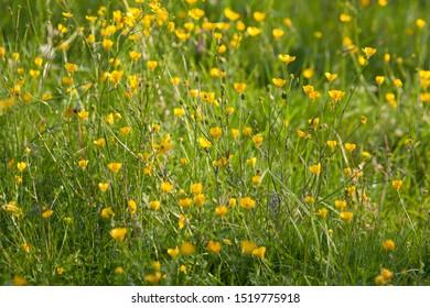 Ranunculus, buttercup water crowfoot plant
