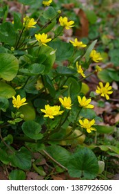 Ranunculus ficaria L. (lesser celandine, Himeryuukinka) - Shutterstock ID 1387926506