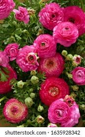 Ranunculus flower background.Pink ranunculus flowers set.Top view floral pattern. spring floral background. Fresh Bright ranunculus with buds.