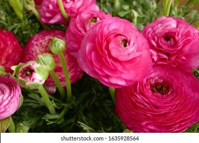 Ranunculus flower background.Pink ranunculus flowers set.Top view floral pattern.Tender spring floral background.  Bright ranunculus with buds.