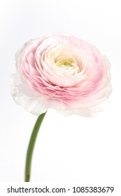 ranunculus flower blossomed
