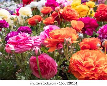 Ranunculus flower field in colorful bloom.