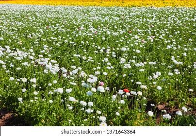 ranunculus flowers blooming in carlsbad california