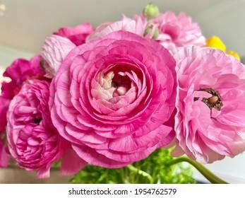 Ranunculus flowers close up beautiful buttercup fresh spring flower