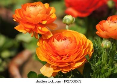 ranunculus flowers in garden , Spring season
