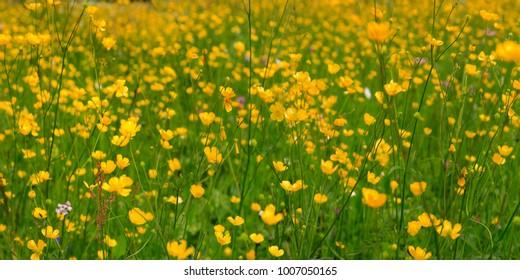 Ranunculus flowers meadow (Ranunculus arvensis) Panorama