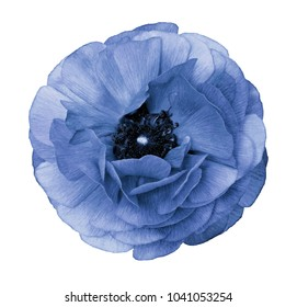 Ranunculus  light blue.   Light blue  flower  buttercup  on  isolated  white background with clipping path without shadows. Close-up. For design. Nature.