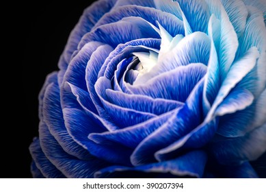 Ranunculus, macro, close-up.