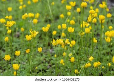 Ranunculus millefoliatus Vahl crowfoot yellow flowers, family: Ranunculaceae