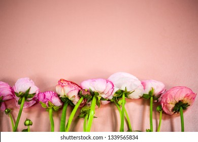 ranunculus in a row, pink background