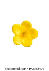 Ranunculus single small soft yellow color blossoming garden flower with petals close up isolated on white top view