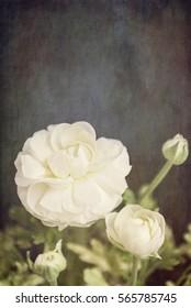 Ranunculus still life with texture, card design.