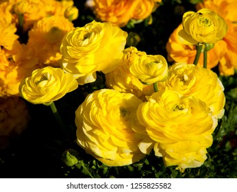 Ranunculus, Yellow and orange flowers on green floral background. Toowoomba carnival of flowers, Queensland Australia.