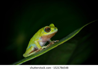 Raorchestes beddomii frog seen near Munnar,Kerala,India