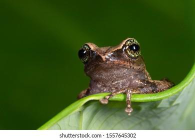 Raorchestes chlorosomma or Green eyed Bush frog on the leaf  seen at Munnar,Kerala,India