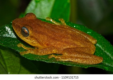 Raorchestes luteolus (sometimes known as Coorg yellow bush frog) is a species of frog in the Rhacophoridae family. It is endemic to the Western Ghats, India.