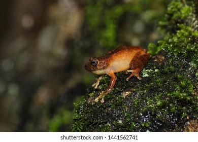 Raorchestes signatus, female, Ooty, Tamil Nadu, India