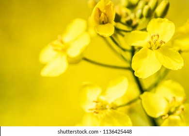 Rape blossom. Spring background. Flowering Canola or colza. blooming rape or Brassica napus. Springtime and summer border