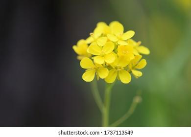 春野に咲く菜の花