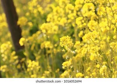 rape blossoms flower