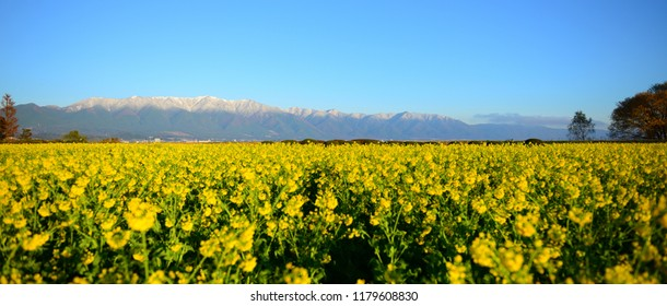 Rape blossoms in full bloom in Mt. Hira shining in the morning sun