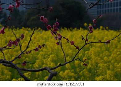 rape blossoms at Tokyo