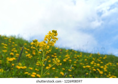 rape blossoms wild weed