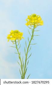 Rape, Brassica napus, flowers against a blue sky