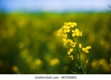 Rape or canola plant in a field
