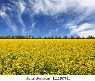 Rape farming field under nice sky in sunny day