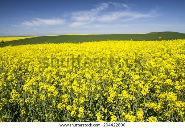 Rape field and the blue sky behind