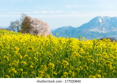 Rape field and cherry trees
