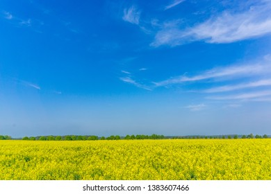 rape field in early summer with tree alley and a wide blue sky