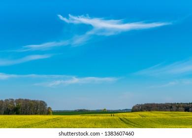 rape field in early summer  and a wide blue sky
