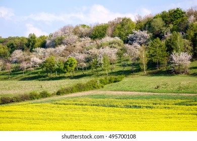 Rape field with fruit trees