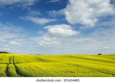 Rape field in north Poland/Yellow field
