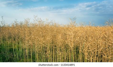 Rape field ready for harvest
