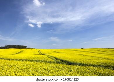 Rape fields in north Poland.