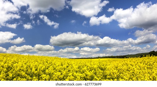 Rape Fields./Northern Poland